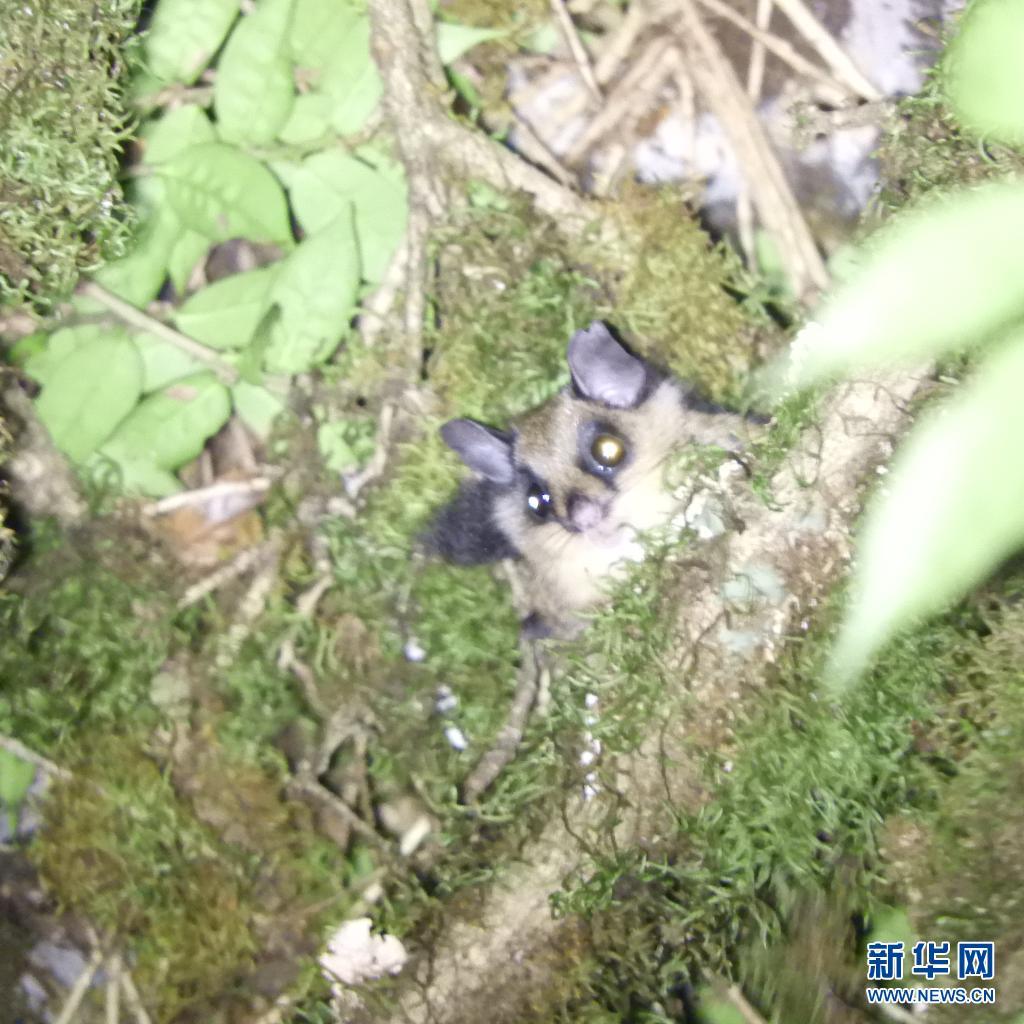 研究团队在云南西北部发现鼯鼠族一新属