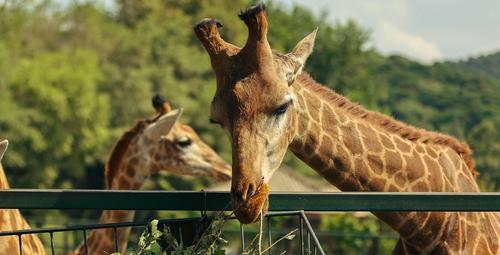 """动物园""""长颈鹿家族""""来了新成员"""